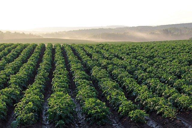 Produktion av potatis